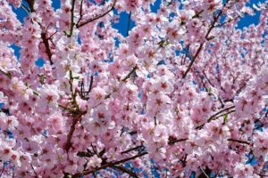 japanese-cherry-trees-2168858_1920