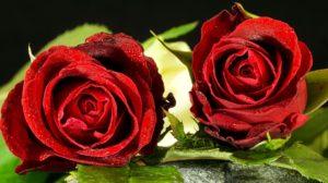 rose-3158708_960_720